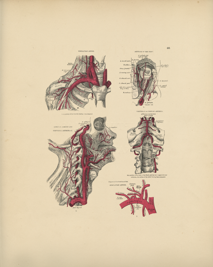 Neck Arteries Print