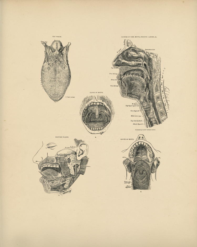 Mouth Anatomy Print