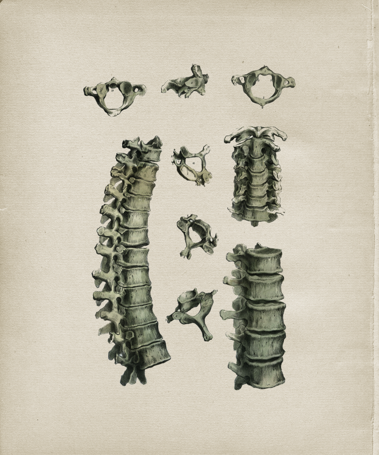 Cervical Thoracic Spine Vertebrae Print