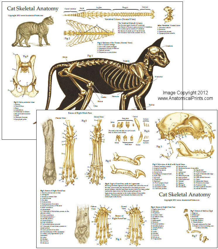 Cat Skeletal Anatomy Chart