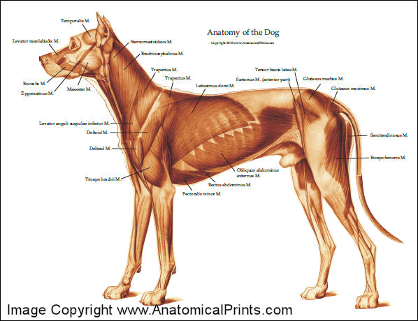 epaxial muscles dog