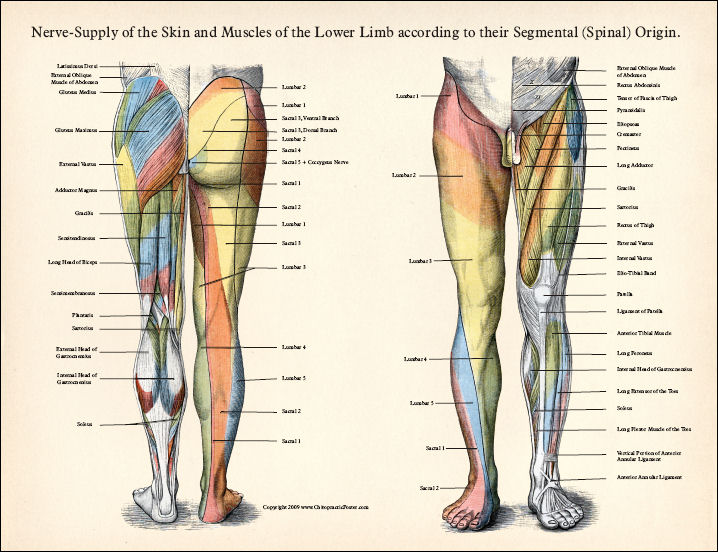 Nerves Of The Leg http://aboutspinabifida.blogspot.com/2012/06/lesions-levels-sensory-and-mobility.html