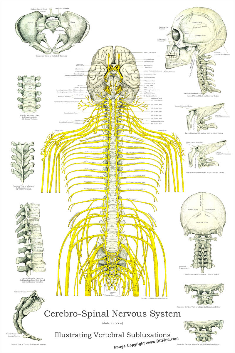 Spinal Nerves and Subluxations Poster