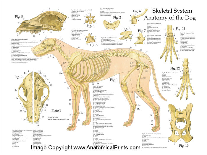 Dog Skeletal Anatomy Poster