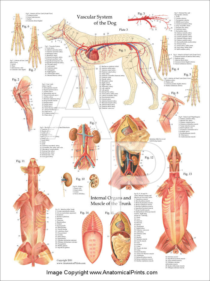 Dog Circulatory Anatomy Poster