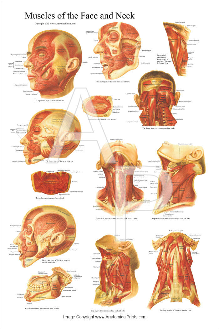 Muscles of the Head, Face and Neck Poster