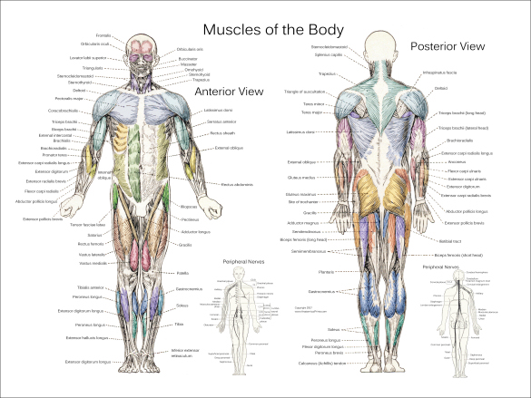 Muscle Anatomy Posters
