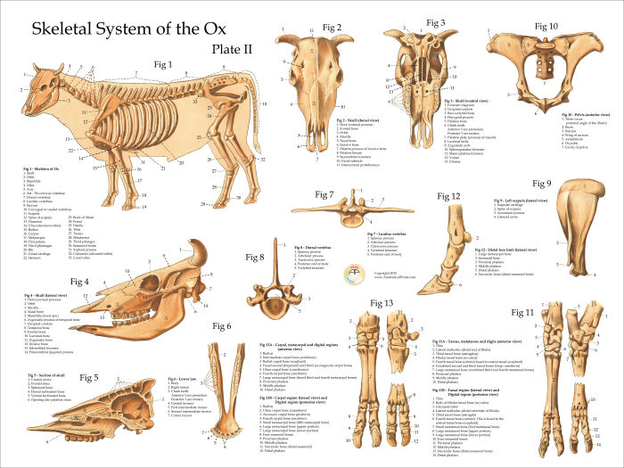 Cow Skeletal Anatomy Poster