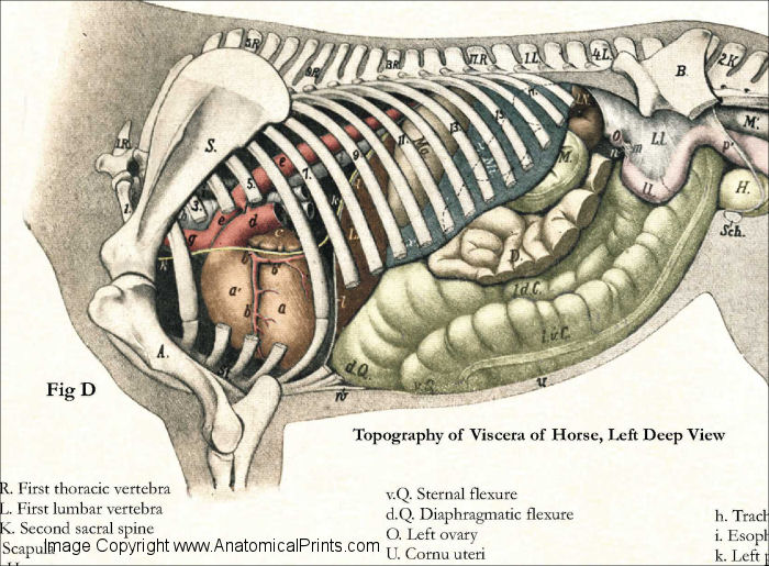 Horse Internal Anatomy Poster