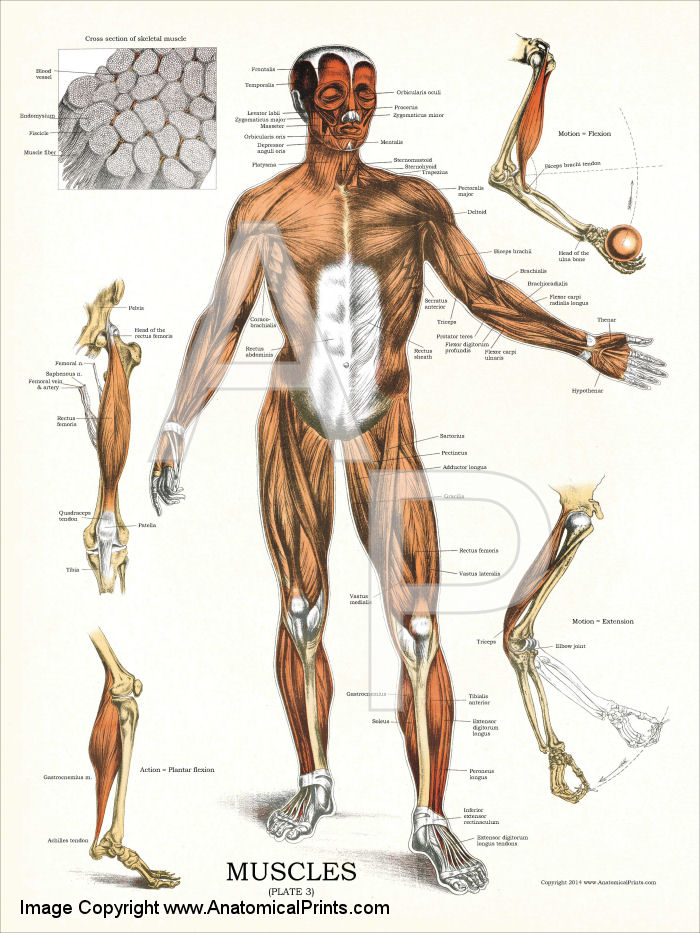 Muscular Anatomy Poster