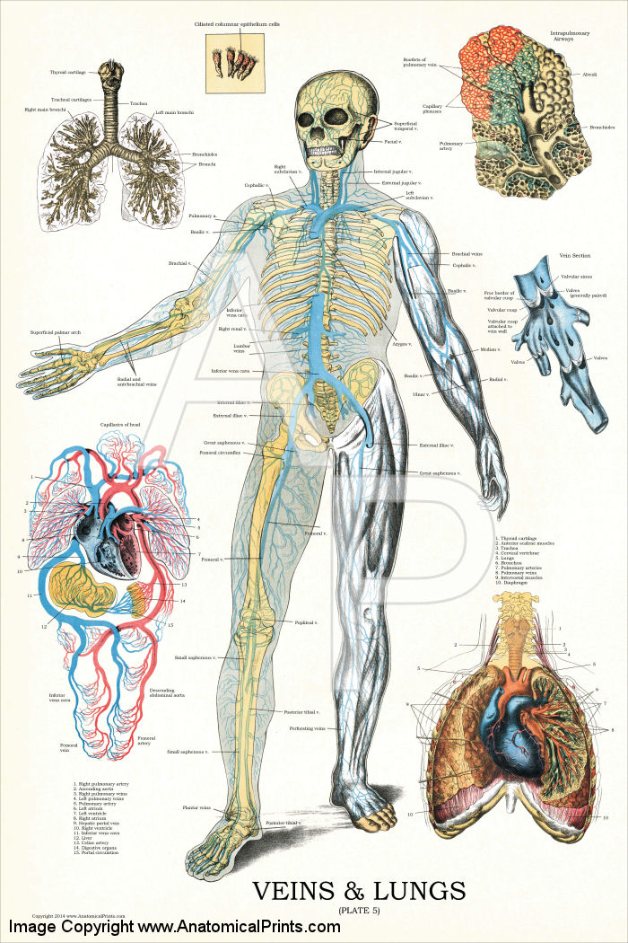 Veins and Lungs Anatomy Poster